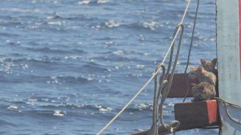 Felinos foram avistados por oficiais da Marinha que foram investigar acidente na costa oeste do país