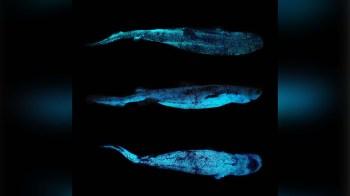 O tubarão kitefin é o maior vertebrado que produz luz própria; pesquisadores encontraram a espécie na Nova Zelândia