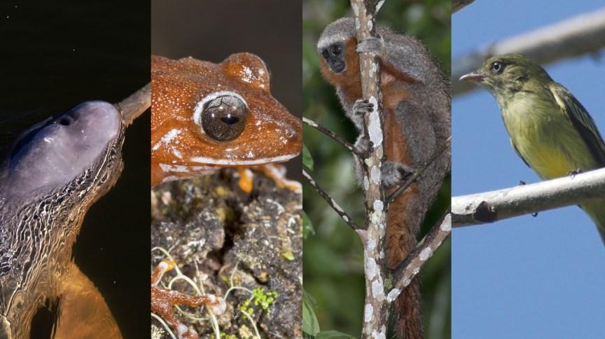 Botos, pererecas, macacos e pássaros estão entre as espécies descobertas nos últimos anos