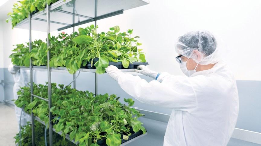 Pesquisador trabalha com as plantas utilizadas para a produção da vacina em laboratório da empresa Medicago no Canadá