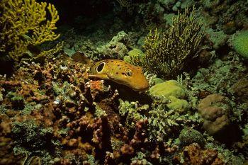 Pesquisadores analisaram efeitos do aumento das temperaturas no crescimento, desenvolvimento e fisiologia dos tubarões epaulette na Grande Barreira de Corais