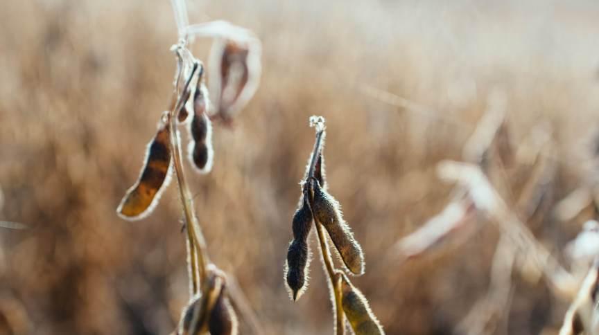 Detalhe de grãos de soja. Agronegócio brasileiro sairá mais forte da crise