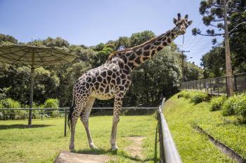 A expectativa de vida de uma girafa é de apenas 15 anos, 17 a menos da idade alcançada por Pandinha, tornando-a a quarta girafa mais velha de todo o mundo