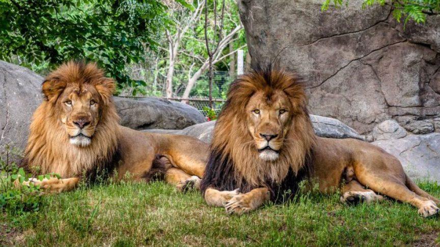 Os leões apresentaram febre e foram testados para o novo coronavírus, que confirmou a infecção por SARS-COV2