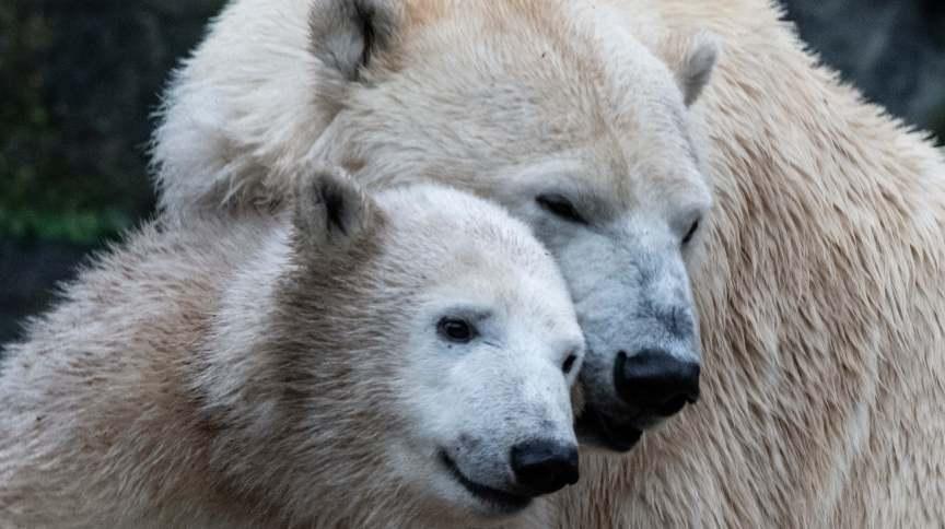 A ursa polar Hertha ao lado da mãe, Tonja, no zoológico de Berlim