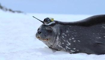 Pesquisadores têm identificado focas com etiquetas desde 2004 para coletar informações ambientais do continente gelado
