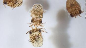 Entre as análises, os pesquisadores querem saber se a falta de gravidade afeta as relações simbióticas entre as pequenas lulas e os tardígrados