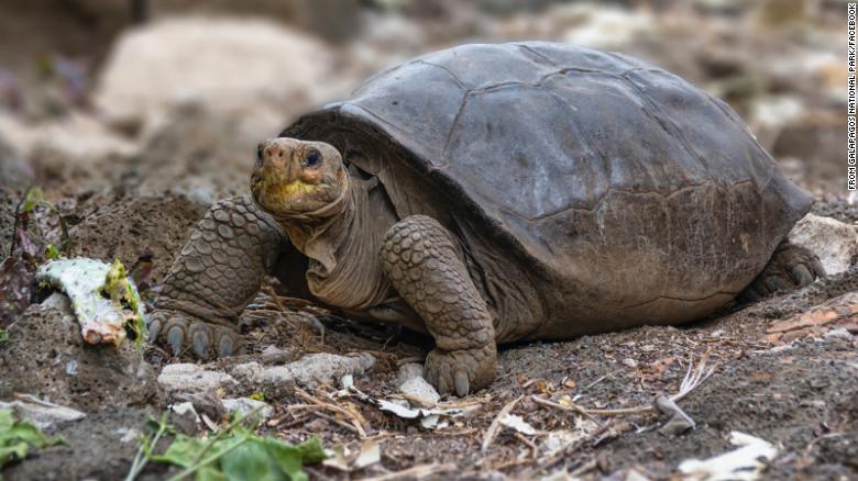 A tartaruga espécie Chelonoidis phantasticus, considerada extinta há mais de 100 anos