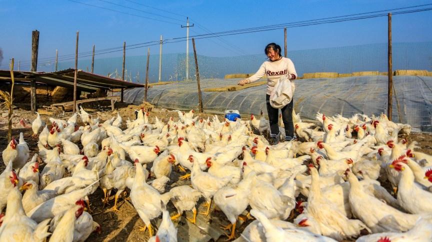 Fazendeira alimenta galinhas em Handan, na província chinesa de Hebei
