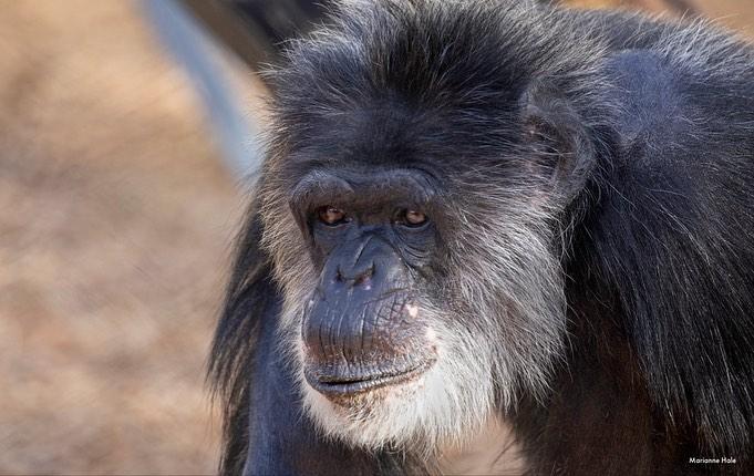 O chimpanzé Cobby, do Zoo de São Francisco