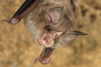 Estudos com morcegos na China e no Laos mostram que eles carregam vírus mais de 95% idênticos ao SARS-CoV-2, o que sugere a origem do novo coronavírus
