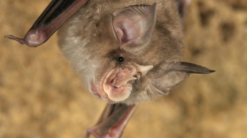 Os pesquisadores encontraram vírus que são mais de 95% idênticos ao SARS-CoV-2 em três espécies de morcegos ferradura (Rhinolophus)