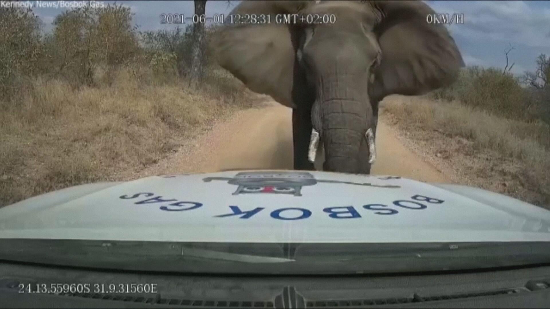 Elefante avança contra caminhão-tanque e aterroriza motorista na África do Sul
