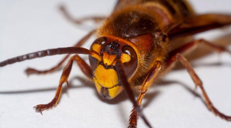"""A vespa gigante asiática é apelidada de """"assassina"""" por eliminar colônias de abelhas e ter veneno suficiente para matar humanos com mais de uma picada"""