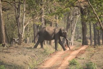 Esses animais gigantescos estão perdendo cada vez mais seu habitat e acabam sendo atraídos por plantações em busca de alimentos