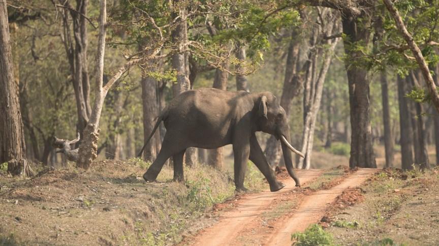 Elefante caminha dentro do Nagarhole National Park (Kabini), na Índia