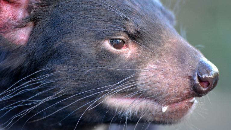 Os diabos-da- Tasmânia são uma espécie predatória nativa da ilha-estado da Tasmânia