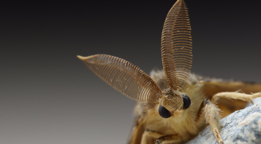 Fêmeas da mariposa cigana podem botar centenas de ovos, que se tornam lagartas e destroem mais de 500 tipos de árvores e arbustos