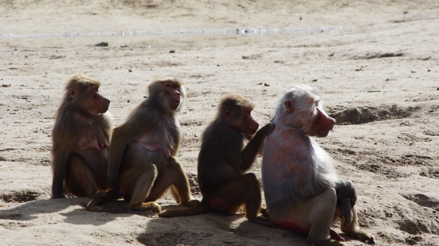 <strong>Família de macacos</strong>