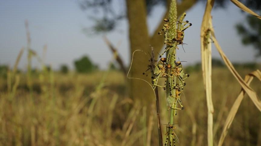 Índia e Paquistão enfrentam infestação de gafanhotos