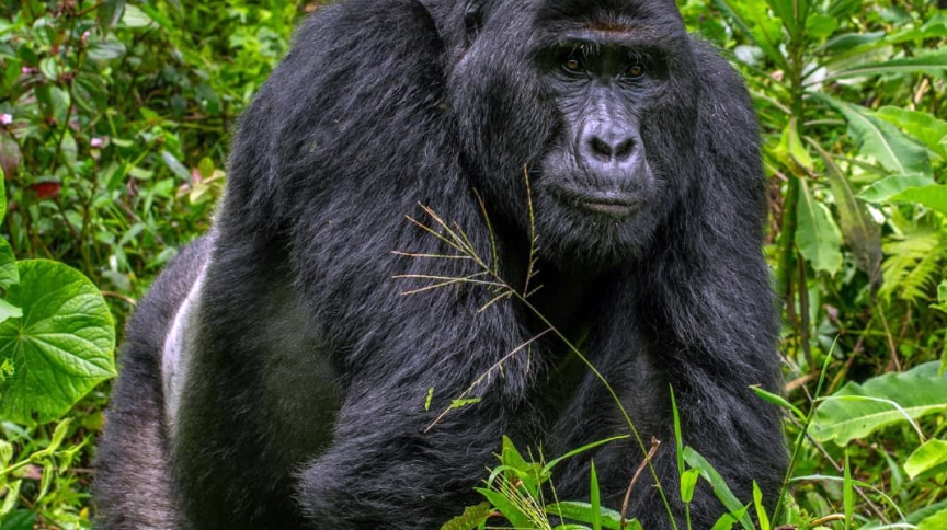 O gorila-das-montanhas Rafiki