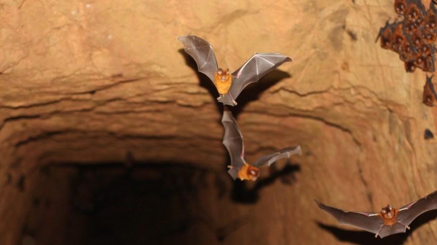 Exemplares de uma nova espécie de morcego encontrada em mina de ouro abandonada no oeste do Quênia