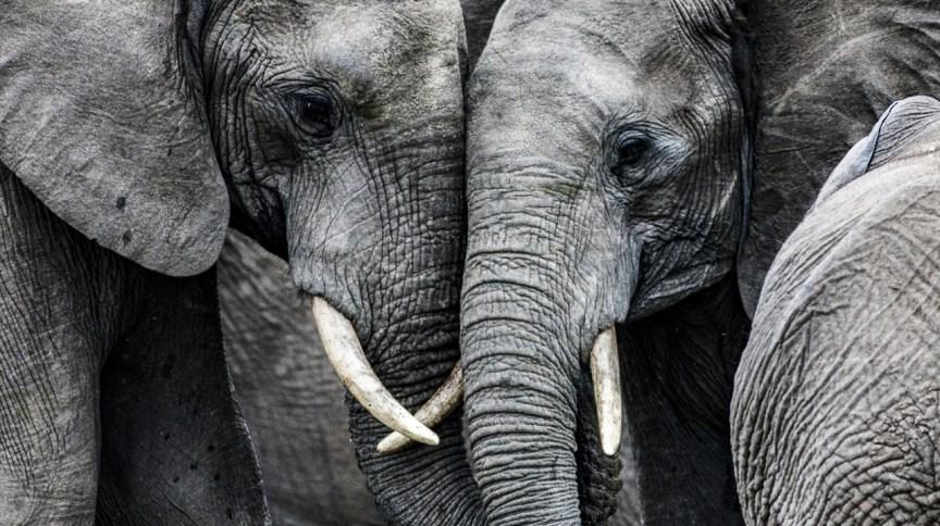 A morte de elefantes é recorrente em países que usam animais em shows; na Botsuana, o óbito de 154 animais é investigado