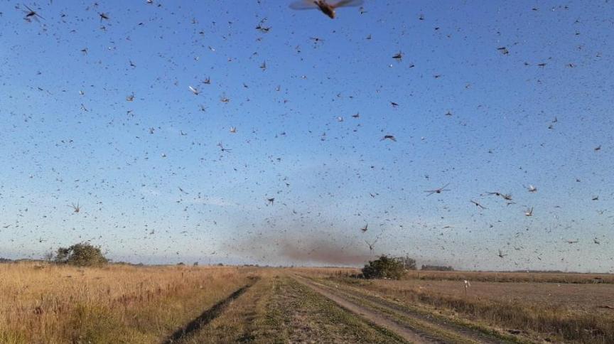 Os gafanhotos são conhecidos por destruir plantações e o que virem pela frente em busca de alimentos