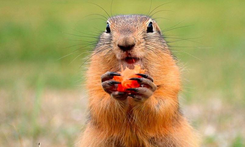 Marmota é roedor com aparência de esquilo, mas tamanho maior