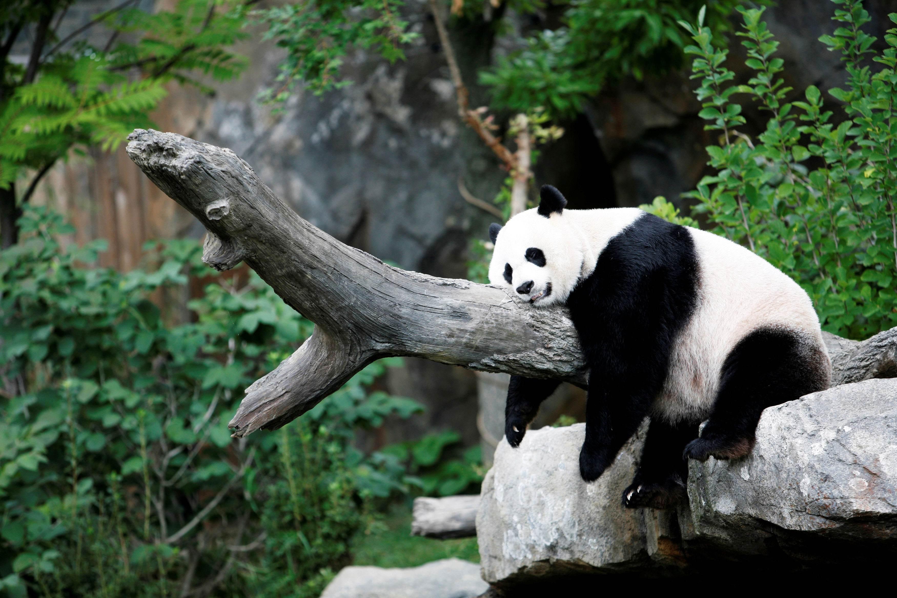 Panda gigante Mei Xiang no Zoológico Nacional de Washington, nos EUA
