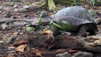 """Embora as tartarugas sejam consideradas vegetarianas, elas foram avistadas comendo carniça """"de forma oportuna"""", bem como ossos e cascas de caracol para obter cálcio"""