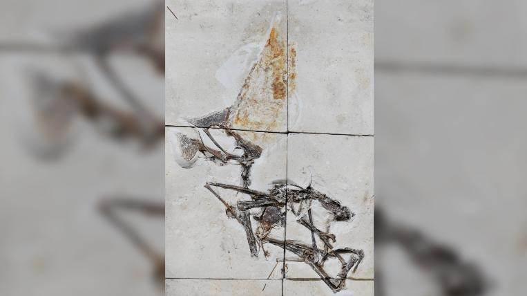 Os ossos foram descobertos em placas de calcário