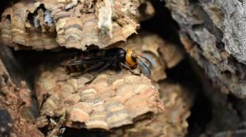 Ninho consistia em nove camadas de favo e tinha quase 1.500 vespas em vários estágios de desenvolvimento