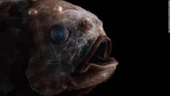 Formalmente conhecida como zona mesopelágica, as águas profundas do oceano aberto guardam espécies que intrigam os cientistas até os dias de hoje; veja fotos