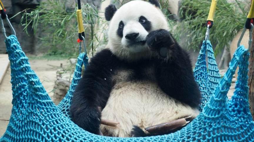 Panda gigante deixou lista chinesa de animais ameaçados de extinção