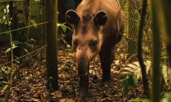 Os pesquisadores da reserva comemoram o fato, pois as antas foram extintas no estado do Rio há mais de 100 anos devido à caça predatória e ao desmatamento
