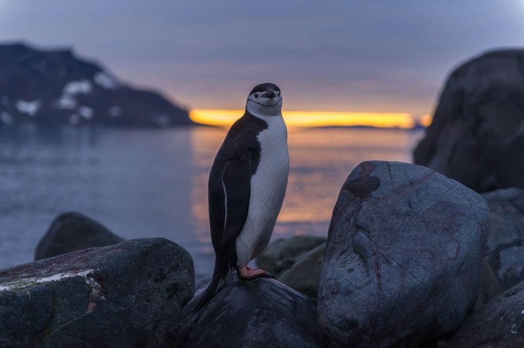 Pinguim na ilha King George, Antártica