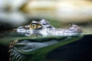 Esqueleto fossilizado foi descoberto nas montanhas no sul do Chile e foi determinado como o ancestral do crocodilo moderno