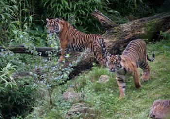 Animais do zoológico de Jacarta apresentaram dificuldade para respirar e perderam o apetite; teste confirmou a presença do coronavírus