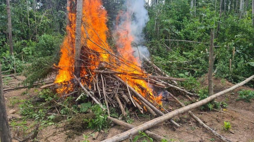 Polícia Federal incinera 95 mil pés de maconha no Maranhão