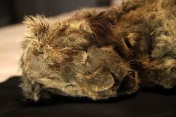 Espécime foi descoberto coberto de lama, com dentes, pele, tecidos e órgãos preservados devido à ação do gelo