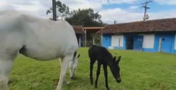 Pesquisa do Instituto Vital Brazil, que está na fase pré-clínica, imunizou dez animais, incluindo três éguas prenhas