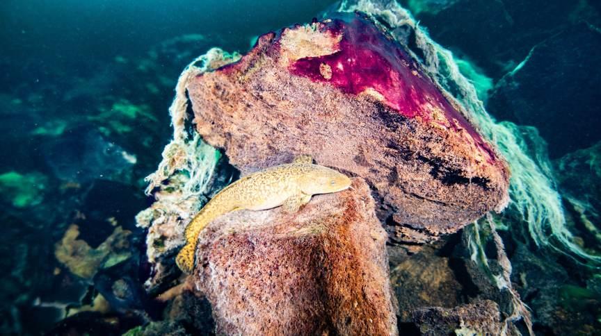 Um peixe donzela descansando em rochas cobertas por esteiras microbianas roxas e brancas no Lago Huron