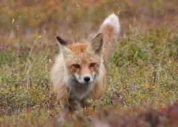 A raposa vermelha de Sierra Nevada enfrenta várias ameaças, incluindo incêndios florestais, secas e competição com coiotes