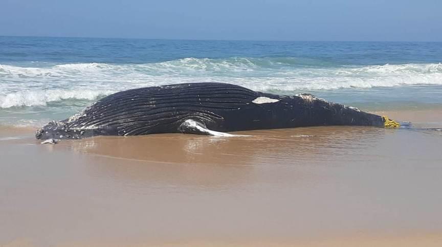 Animal foi encontrado na praia de São Conrado, na zona sul do Rio de Janeiro