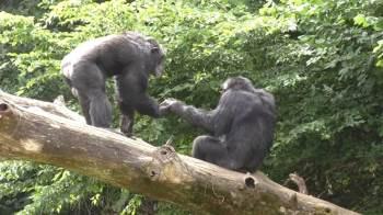Pesquisadores analisaram mais de 1.200 interações com grupos de chimpanzés e bonobos em zoológicos