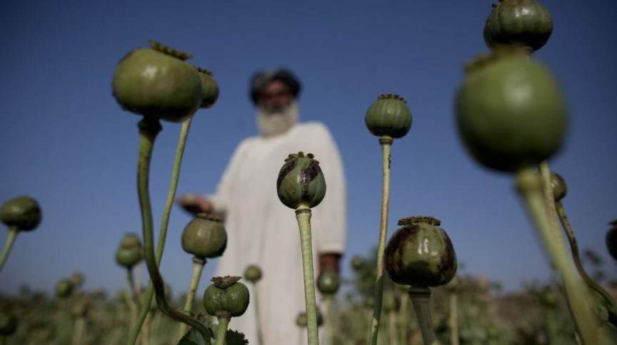 Fazenda de cultivo de papoula no Afeganistão: atividade rende bilhões de dólares ao país e ajuda a sustentar o Talibã