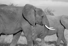 A tromba dos elefantes é delicada e robusta — elas são capazes de agarrar uma única folha de grama, mas também podem carregar quase 300 libras. E os cientistas querem aprender com elas