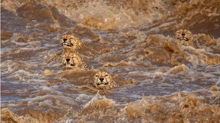 O fotógrafo australiano do Sri Lanka Buddhilini de Soyza temia que esses chitas machos não conseguissem sair de um rio inundado em Masai Mara, no Quênia