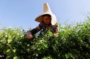 Empresa adquiriu 10 hectares para produzir a flor em meio a um desaparecimento de plantações